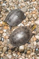 Pair of Sarawak turtles (quinet) Tags: 2015 borneo kuching malaysia muziumnegerisarawak sarawak sarawakstatemuseum schildkrte tortue turtle