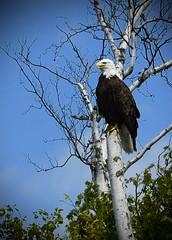 American Bald Eagle (Katherine Chawner Davis) Tags: eagle baldeagle americanbaldeagle raptor bird birchtree nature wildlife