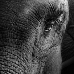 Eyes (Pillg) Tags: elephant eyes portrait animals africa afrique nb black white nature bali asia safari