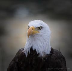 Do not come any closer (Susan Newgewirtz) Tags: nikon nikond750 nikkor300mm wildlife wildlifephotography raptor americanbaldeagle outdoor 2016 august bird eagle depthoffield
