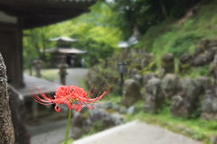 Red Spider Lily (T.Machi) Tags: flower temple japan kyoto red fujifilm xf1 boke