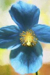 Himalayan Blue Poppy (Margaret S.S) Tags: himalayan blue poppy art flower