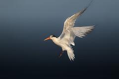 A Terrific Tern (Patricia Ware) Tags: birdsinflight bolsachicaecologicalreserve california canon ef400mmf56lusm eleganttern huntingtonbeach thalasseuselegans httppwarezenfoliocom 2016patriciawareallrightsreserved specanimal