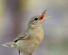 marsh warbler, Acrocephalus palustris (ammadoux) Tags: acrocephaluspalustris acrocephalus palustris marsh warbler marshwarbler jeddah jeddahbirds ammadoux