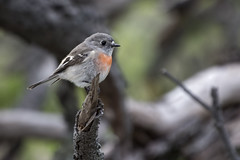 Female Scarlet Robin 2016-08-12 (60D_2731) (ajhaysom) Tags: scarletrobin petroicamulticolor woodlandshistoricpark greenvale melbourne australia australianbirds canoneos60d sigma150600