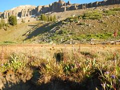 Carex microptera (Matt Lavin) Tags: carexmicroptera smallwingsedge cyperaceae native bunched sedge montanemeadow drysite alaskabasin tetonrange