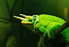I don't mind waiting I have a lot to think about. (krillmerma) Tags: chameleon green still life waiting