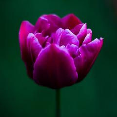Purple Tulip (Vadim Tsymbalyuk) Tags: tulip flower plant purple single closeup close colorful