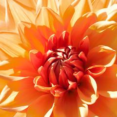 Orange Flower (kristin.mockenhaupt) Tags: flower plant nature natur wiese meadow blossom blte dahlie dahlia orange frhlin sommer summer spring sprintime bloom