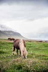 Icelandic Horse In Mountain Landscape (marrific) Tags: landscape rain beautiful nikon love photo nikond3 horse horses animal animals pet nature outdoor mountain mountains clouds fog travel trip roadtrip iceland ringroad fjord cloud hill sky grassland field foothill mountainside equestrian morning hdr hike white green grass