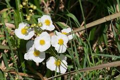 Greenbottom_WMA-10.jpg (Bill in WV) Tags: greenbottomwma wv nature flora wildflowers grassleaf arrowhead grassleafarrowhead