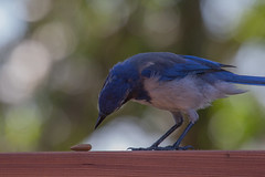 IMG_6292 (armadil) Tags: bird birds jay jays scrubjay scrubjays brusselssprout backyard