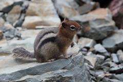 Red headed begger (csnyder103) Tags: chipmunk animal wild rodent glaciernationalpark stripes poser canoneosrebelsl1 canonefs1585 cute