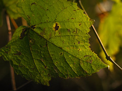 (andrewethomp) Tags: pentax pentax645d digital lookslikefilm portrait raw ohio dayton mediumformat sharp bokeh creamy depth outdoor vsco vscofilm light 28 abstract blur iso1600 105mm 24 leaves macro leaf