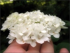 (Tlgyesi Kata) Tags: hortenzia hydrangea fvszkert budapestfvszkert botanikuskert botanicalgarden withcanonpowershota620 budapest autumn sz whiteflower hand