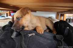 Lola is a bag dog (trulyjuly) Tags: creativecommunications contentmarketing contentcoach juliaseiffert juliaranzani trulyjuly yourstrulyjuly creativewriting book communication strategy copywriting webwriting photography socialphotography video socialmedia consultancy blog articles journalism bilingual english german lola dog puppy pet rescue streetback