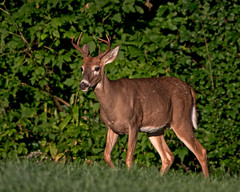 PreRut (jmishefske) Tags: wisconsin wildlife antler buck whitetail halescorners rack d500 september park whitnall milwaukee nikon deer 2016