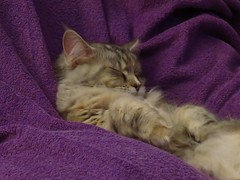 Tiger sleeps tonight (eagle1effi) Tags: miezi grace silvana maine coon cat mainecoon pussy mulle mieze katze kitty tbingen pet felis