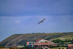 18092016DSC_1147.jpg (Ignacio Javier ( Nacho)) Tags: pginafotografia gaviotas facebook aves flickr faunayflora santander cantabria espaa es