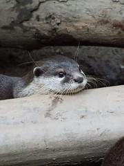 Schnen Wochenstart wnsche ich euch! (ingrid eulenfan) Tags: tiere animal tier zoo otter schw schwarzweis blackandwhite bw leipzig