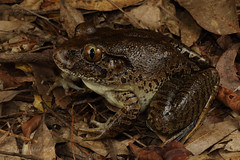 Giant barred frog (Mixophyes iteratus) (Jordan Mulder) Tags: mixophyes iteratus giant barred frog amphibian wildlife central caost