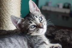 Cute little kitten (Alexsandra Machado (temporarily offline)) Tags: cat gato kitten kitty cinza grey fluffy cute