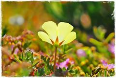 WILD FLOWER (mutter2009 *OFF*) Tags: flowers southafrica wildflower westcoast coth nikond60 sognidreams swartriet indigenoussouthaficanplants weskusveldblomme