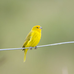 Saffron Finch on the wire (Tambako the Jaguar) Tags: wild brazil bird nature yellow metal fence wire nikon wildlife small wildanimal perched matogrosso pantanal rioclaro d4 saffronfinch