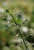 Capsella bursa-pastoris (gripspix (OFF)) Tags: autumn nature herbst natur dew droplet tau tropfen tröpfchen heilpflanze hirtentäschel capsellabursapastoris medicalplant 20121013 chinesecress