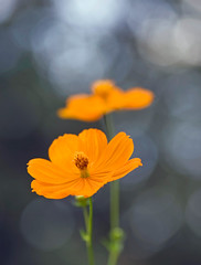 Sulphur Cosmos And Bokeh (aeschylus18917) Tags: flowers orange flower macro nature japan season nikon seasons blossom bokeh micro bloom  hornet nikkor  asteraceae cosmos 105mm 105mmf28 asterales yellowcosmos  sulfurcosmos  cosmossulphureus heliantheae 105mmf28gvrmicro asterids d700 nikkor105mmf28gvrmicro  bidenssulphurea nikond700 danielruyle aeschylus18917 danruyle druyle