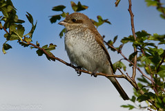 Red-backed Shrike (Lanius collurio) (steveb_pics) Tags: shrike redbacked
