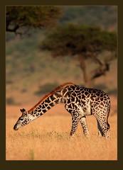 A lowly grass-eater? (Rainbirder) Tags: giraffe masaimara giraffacamelopardalistippelskirchi giraffacamelopardalis masaigiraffe rainbirder