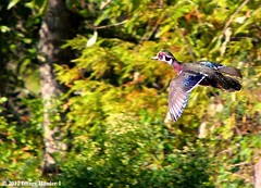 Wood Duck Male - Bayou Courtableau, Louisiana (Image Hunter 1) Tags: birds louisiana birdslouisiana nature swamp bayou marsh woodduck flight flying wings wingspan wingspread colors tree trees greenery leaf leaves branch branches bokeh bayoucourtableau canoneos7d