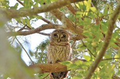 DSC_1072 (68photobug) Tags: park bird nature nikon florida reserve sigma raptor owl marsh preserve barred barredowl polkcounty circlebbar 150500mm 55300mm d7000 68photobug