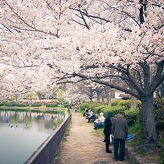 rest under sakura trees (SILENCE Vincent) Tags: japan   cherryblossom  sakura osaka   osakaprefecture
