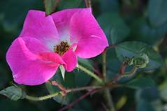 Week 42 The last rose of Summer............. (lpaul2010) Tags: elementsorganizer