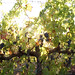 2012 Garden Creek Cabernet Harvest 0011
