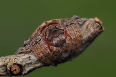 Wrap-around Spider - genus Dolophones (Rundstedt B. Rovillos) Tags: macro spider arachnid australia brisbane brisbanequeensland reverselens macrophotography nikkor1855mm sooc straightoutofcamera familyaraneidae reverselensadapter diyflashdiffuser nikond300 harrisonspocket wraparoundspider rundstedtbrovillos kentuckyfriedchickenplasticbucketlid diykfcflashdiffuser onehandmacroshootmethod kfcdiffuser kfcflashdiffuser genusdolophones