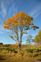 Gight Woods 2 2012-10-21 (LynG67) Tags: wood blue autumn tree green yellow forest scotland nikon gightwoods