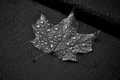 Summer is over... (onewildwest) Tags: bw white black color fall monochrome rain mi river leaf maple pond dam michigan drop cadillac explore tippy backwater manistee mesick m37 explored onewildwest hodenpyle