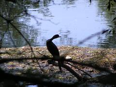 PICT4293 (ebvbaer) Tags: tiere kormoran vgel lhne