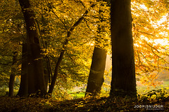 Autumn Colors (Joop Snijder) Tags: autumn light sunlight plant holland tree fall nature netherlands yellow horizontal forest season landscape outside outdoors daylight leaf europe day branch vibrant scenic peaceful tranquility ground nobody foliage silence twig land backlit lush westerneurope renkum lighteffect bough gelderland tranquilscene benelux northerneurope colorimage ruralscene oostereng treearea