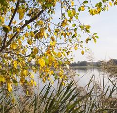 bourdaine à l'automne devant l'étang - Frangula dodonei - Alder Buckthorn in autumn in front of pond (dombes et ailleurs) Tags: autumn automne pond etang rhamnaceae dombes alderbuckthorn rhamnusfrangula frangulaalnus bourdaine franguladodonei