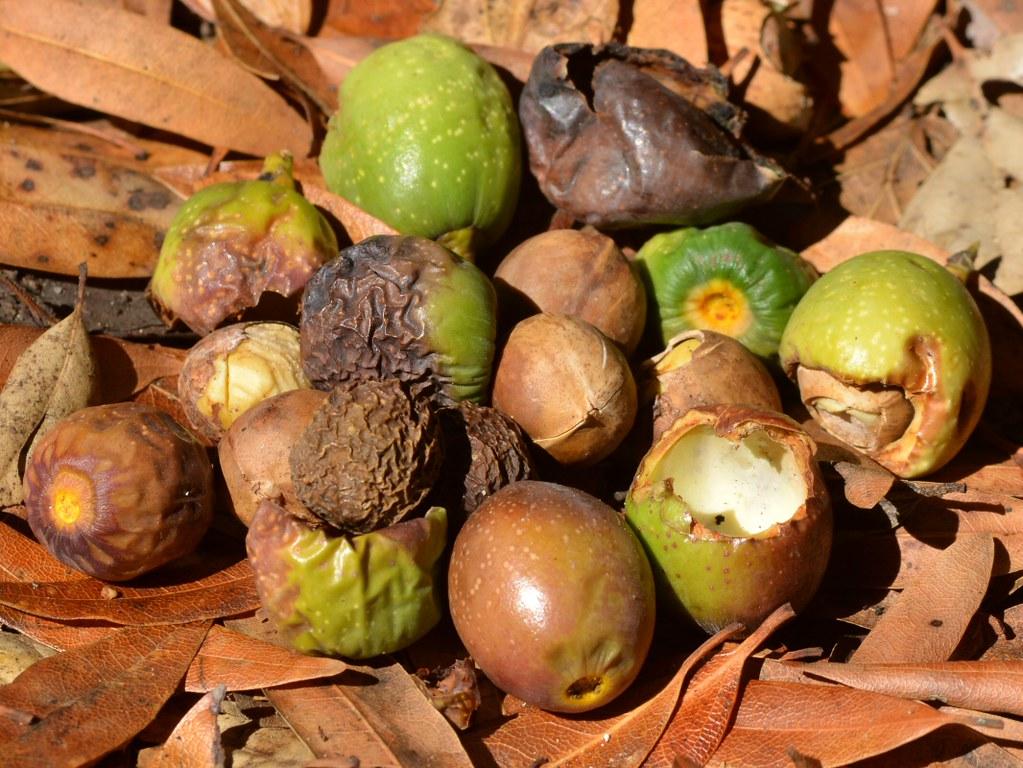100 california tree fruit deciduous fruit trees berkeley