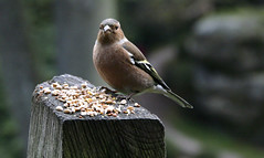 CHAFFINCH (Adam Swaine) Tags: county uk trees england green english beautiful birds yellow canon countryside flora britain east nationaltrust 2012 chaffinch counties wakehurstplace naturelovers 24105mm thisphotorocks adamswaine mostbeautifulpicturesmbppictures wwwadamswainecouk ntnature