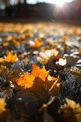 Herbst im Laub (Andrusch2011) Tags: natur perspektive