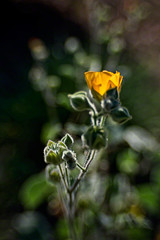 Golden glow (Celeste M (more off than on)) Tags: yellow backlight lensbaby flora wildflower californianative celestem abutilonpalmeri madronamarshpreserve celestemookherjee yellowindianmallow