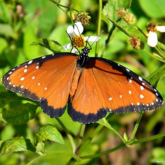 Queen Butterfly (Danaus gilippus) (bob in swamp) Tags: butterfly florida queen palmbeachcounty danaus nymphalidae danausgilippus junodunesnaturalarea taxonomy:binomial=danausgilippus