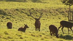 Stag rounding up Hinds (Neil Parker Photography) Tags: bristol stag deer reddeer deerpark ashtoncourt hinds