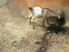 Kadama Farm (MadisonBoratto) Tags: africa farm goat ghana operation groundswell groots kadema